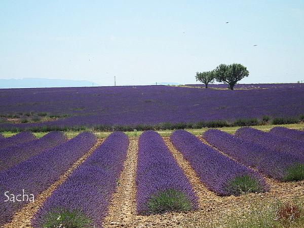 Lavande , plateau de Valensole Provence # 6