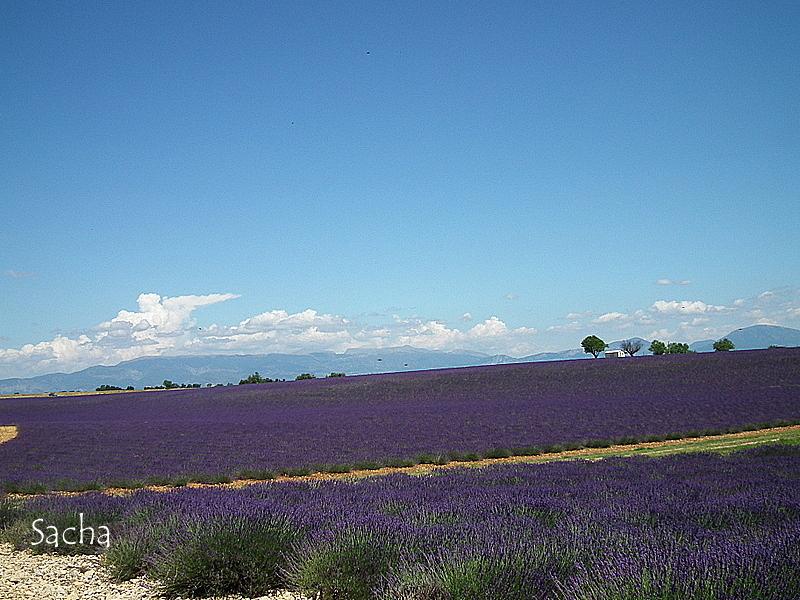 Lavande , plateau de Valensole Provence # 7