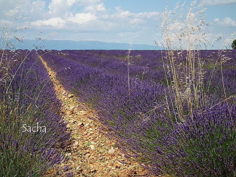 Lavande , plateau de Valensole Provence # 15
