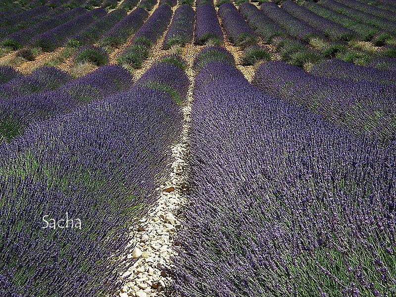 Lavande , plateau de Valensole Provence # 16