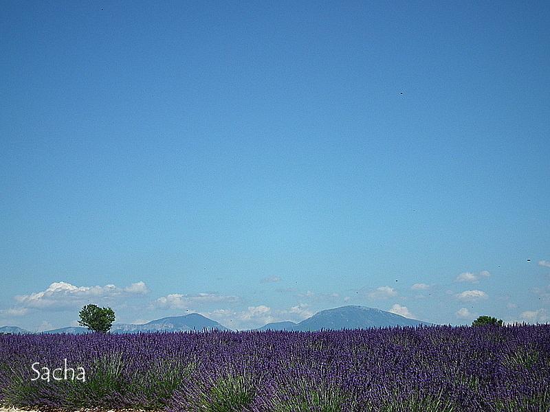 Lavande , plateau de Valensole Provence # 17