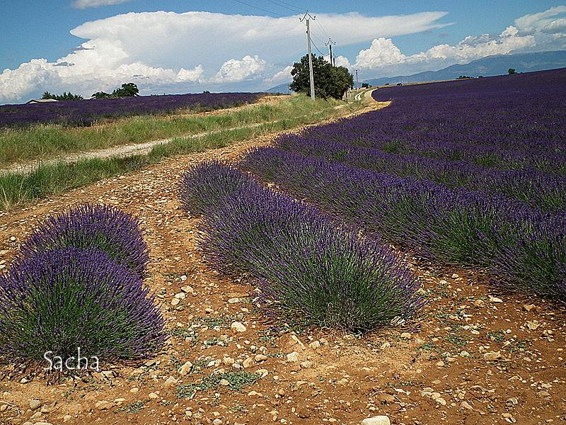 Lavande , plateau de Valensole Provence # 19