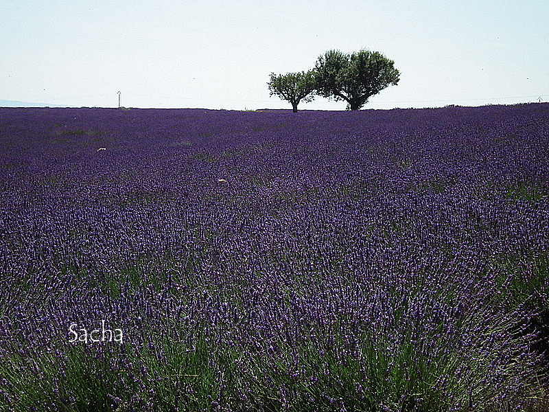 Lavande , plateau de Valensole Provence # 20