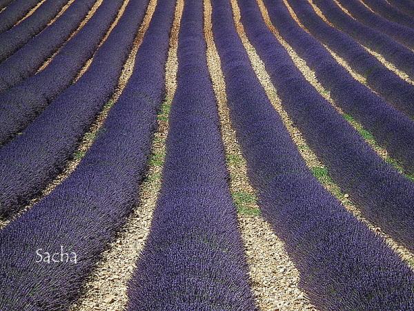 Lavande , plateau de Valensole Provence # 24