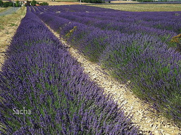 Lavande , plateau de Valensole Provence # 25