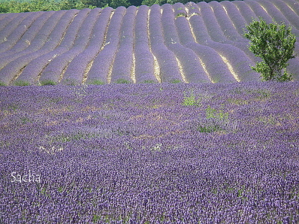 Lavande , plateau de Valensole Provence # 26