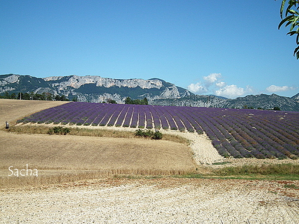 Lavande , plateau de Valensole Provence # 28