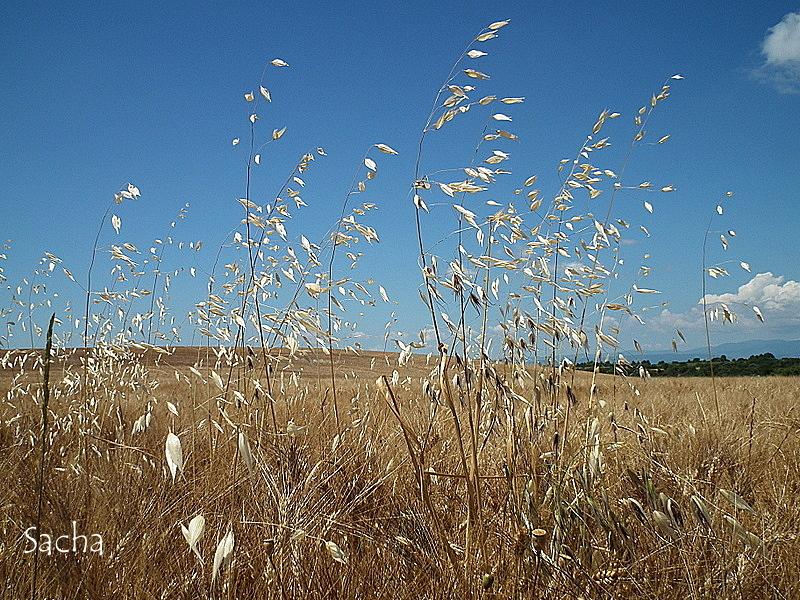 Champ de céréales  plateau de Valemsole