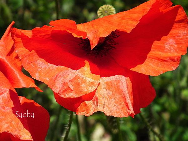 Poppy #  6
