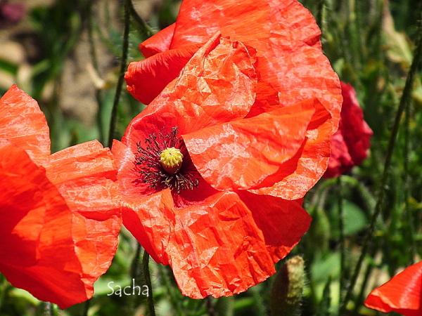 Poppy #  8