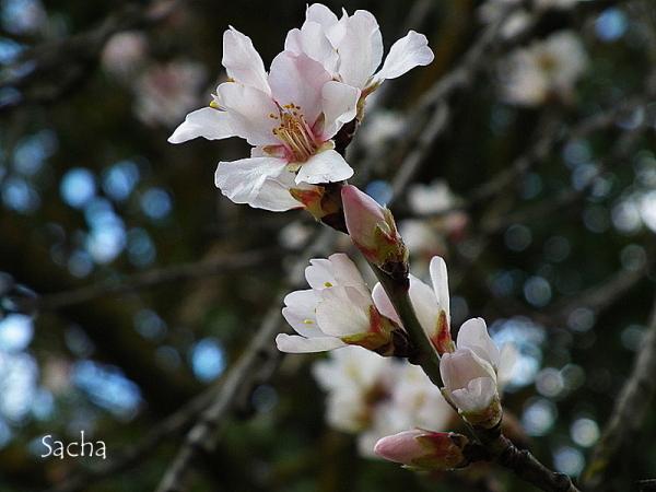 Fleurs d'amandier # 2