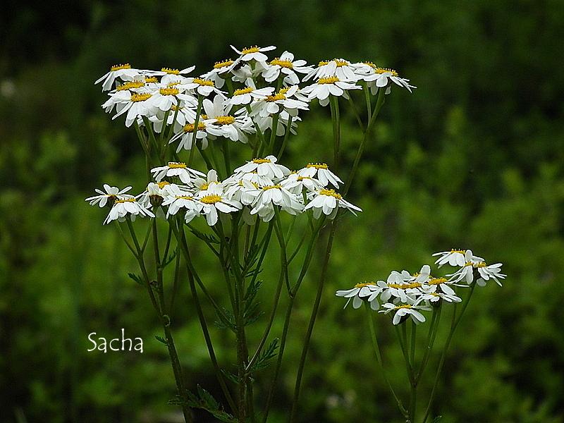 Fleur des champs
