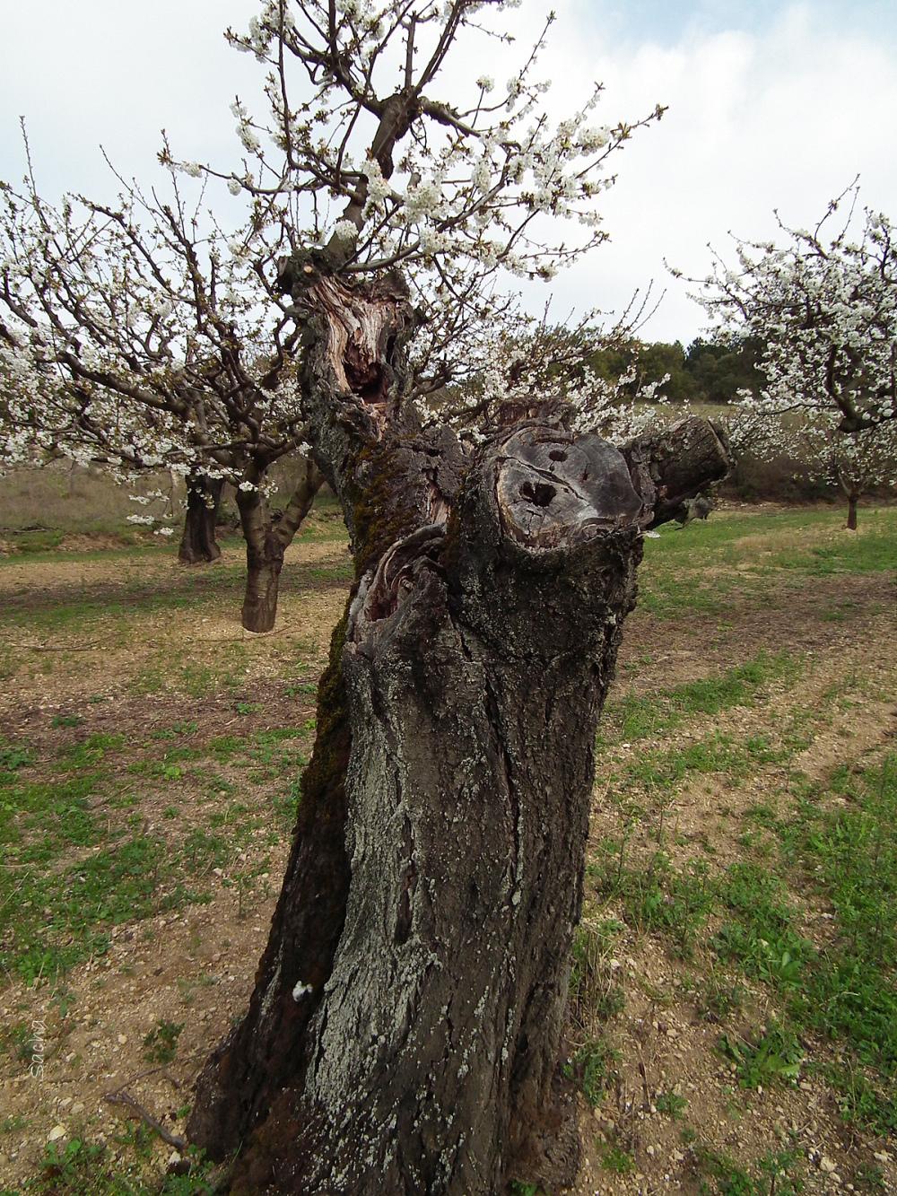 Cerisier plateau des Claparèdes Bonnieux