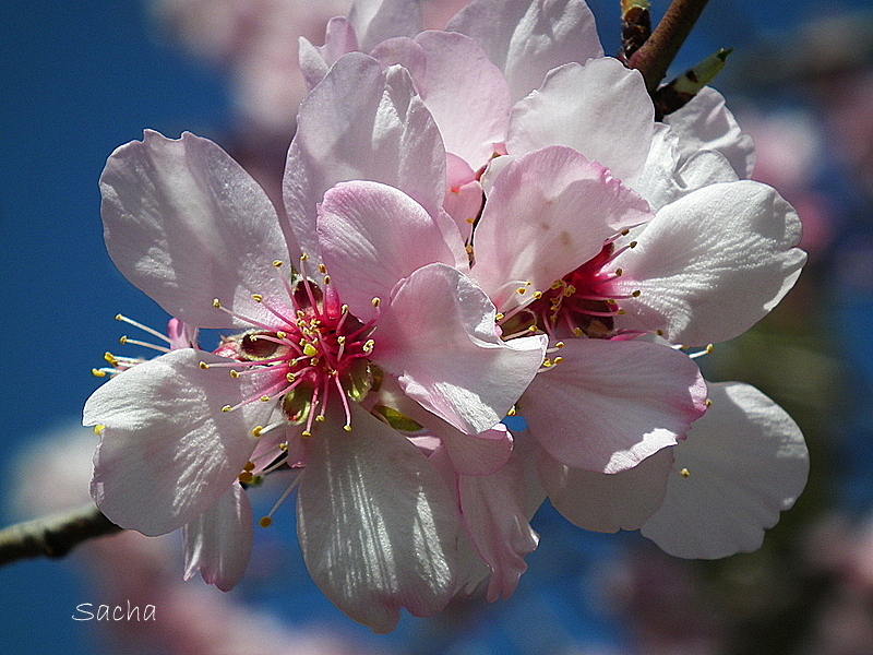Fleurs d'amandier