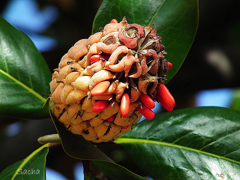 "Graines "" Magnolia grandiflora """