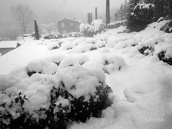Lavandes et olivier sous la neige