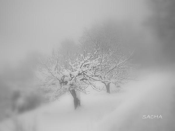 Cerisiers dans la neige et brouillard