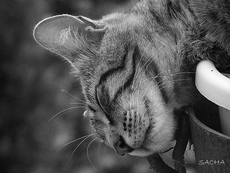 Le chat Fifo ( sieste # 2 )