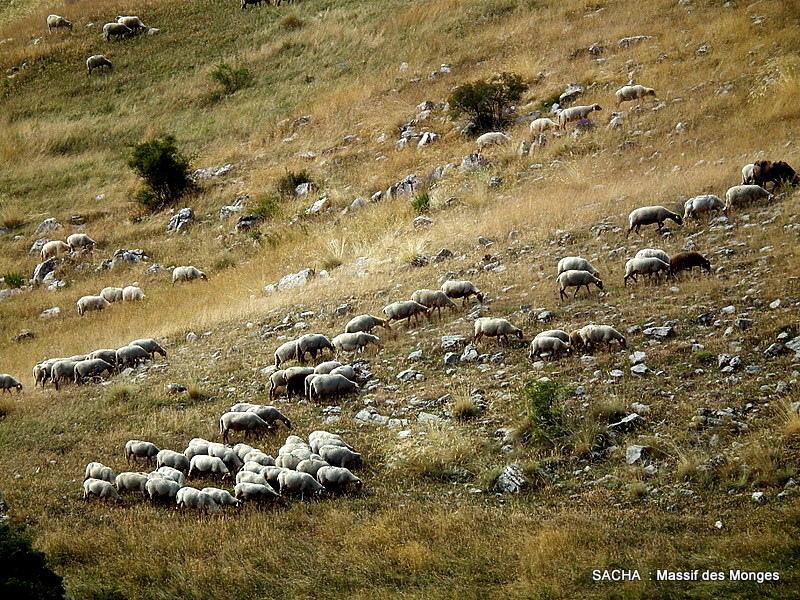 """Moutons """"Massif des Monges """""""