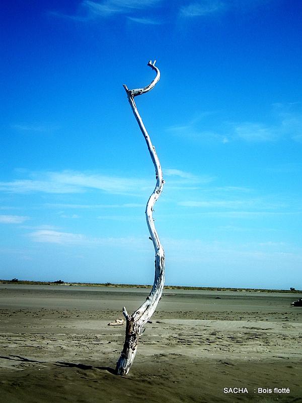 Bois flotté plage de Camargue