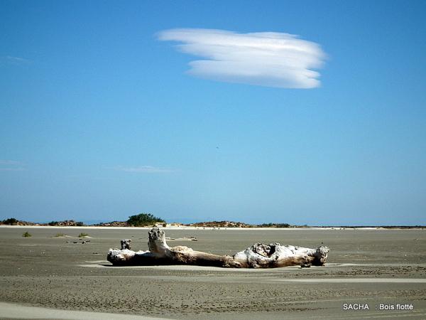 Bois flotté plage de Camargue ( ours endormi )