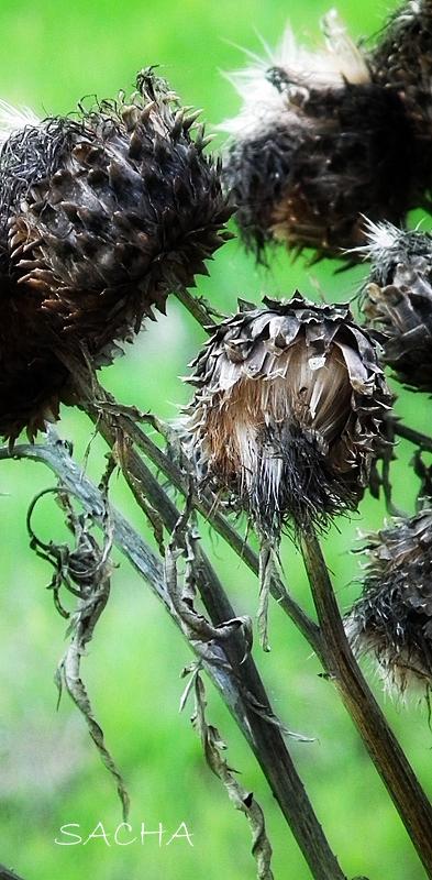 Plant d'artichaut