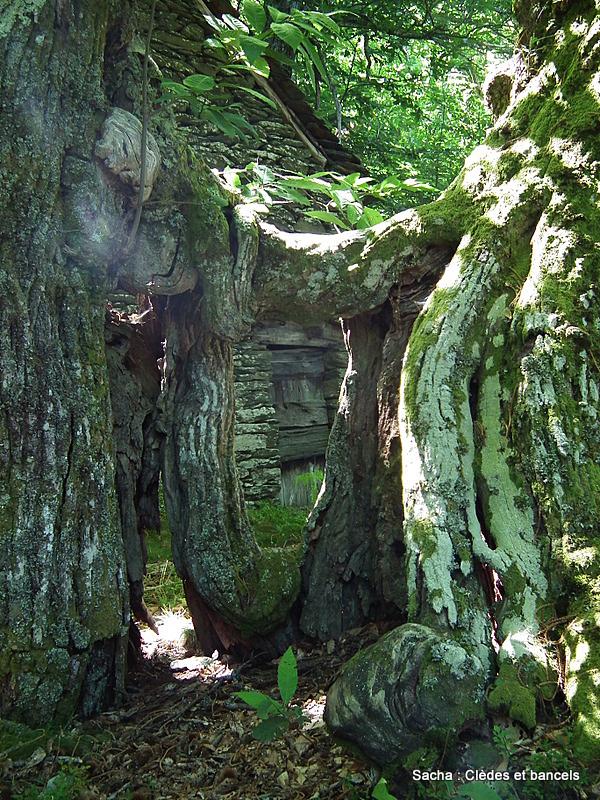 Clède et châtaigniers , forêt Cévenole du Bougès