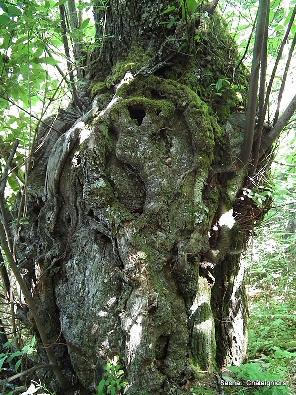 Châtaignier forêt Cévenole