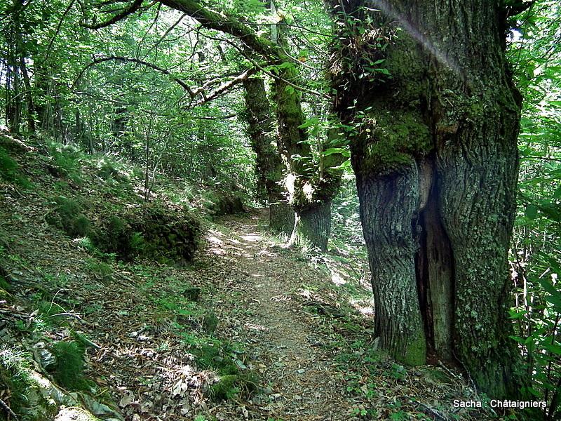 Forêt Cévenole Le Bougès
