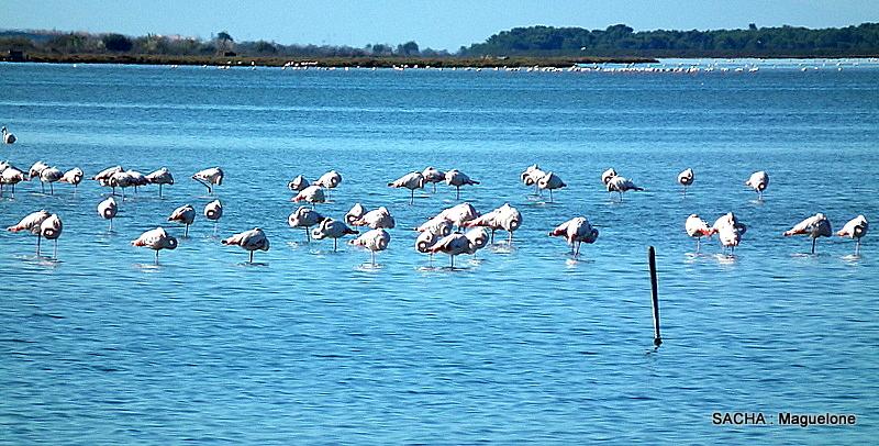 Flamants  roses  étangs et marais de  Maguelone