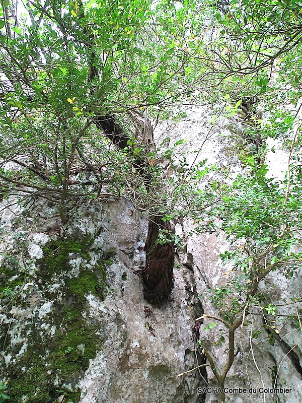 Ténacité , arbre poussant dans un rocher