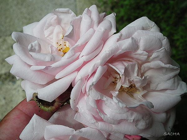 Eternelles roses ....