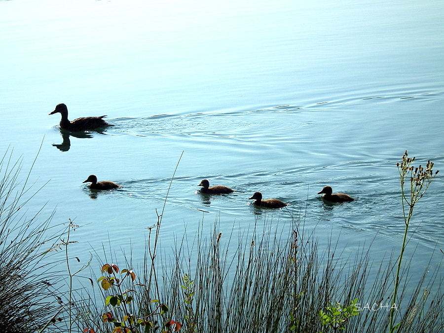 Canards ...sur le Verdon