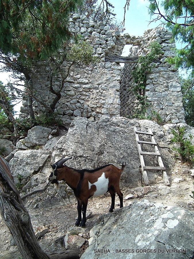 Chèvre de Rove  Basses gorges du Verdon