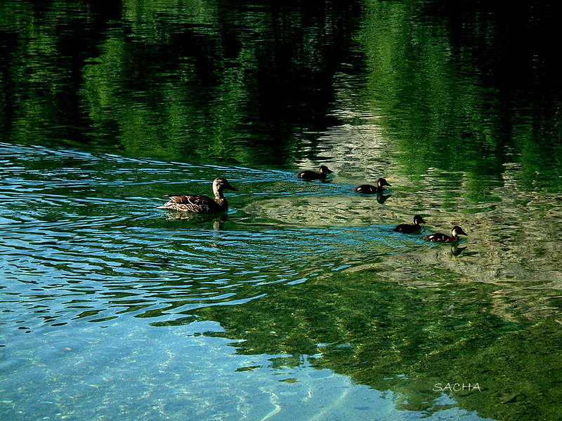 Canards ...sur le Verdon