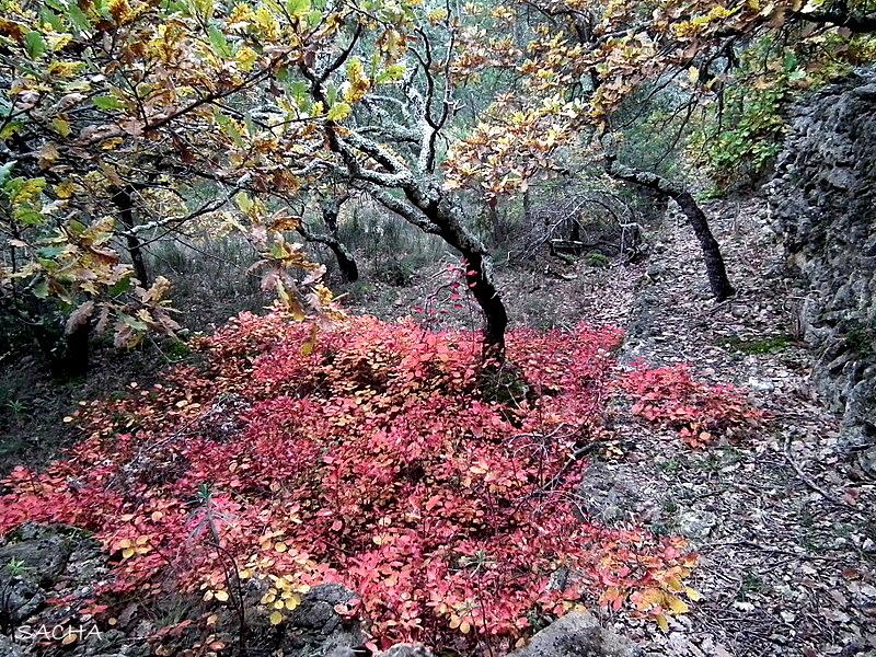 Pistachier térébinthe et chêne garrigue provençale