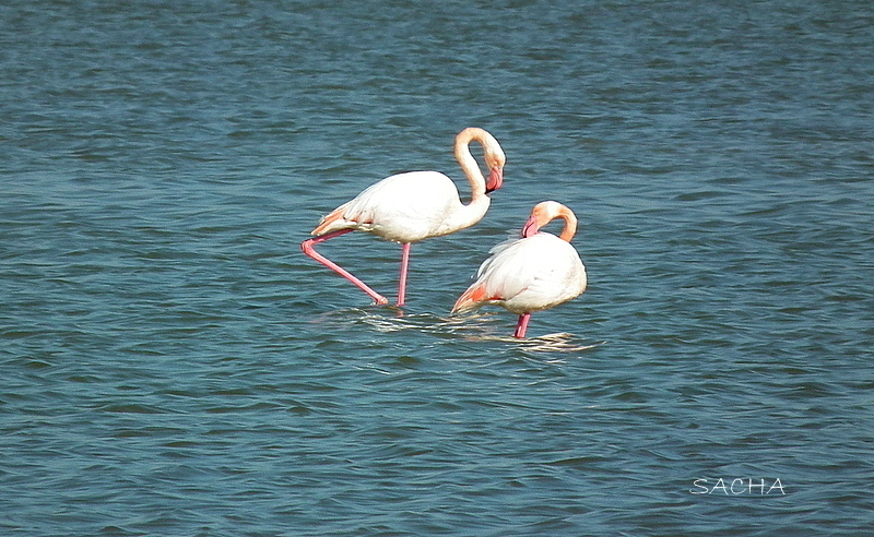 "Flamants roses  ""Camargue """