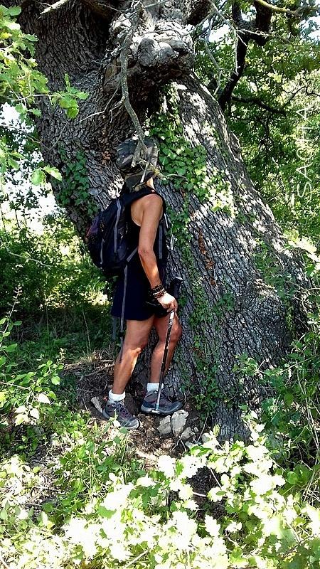 Beau spécimen de chêne Quercus ' luberon '