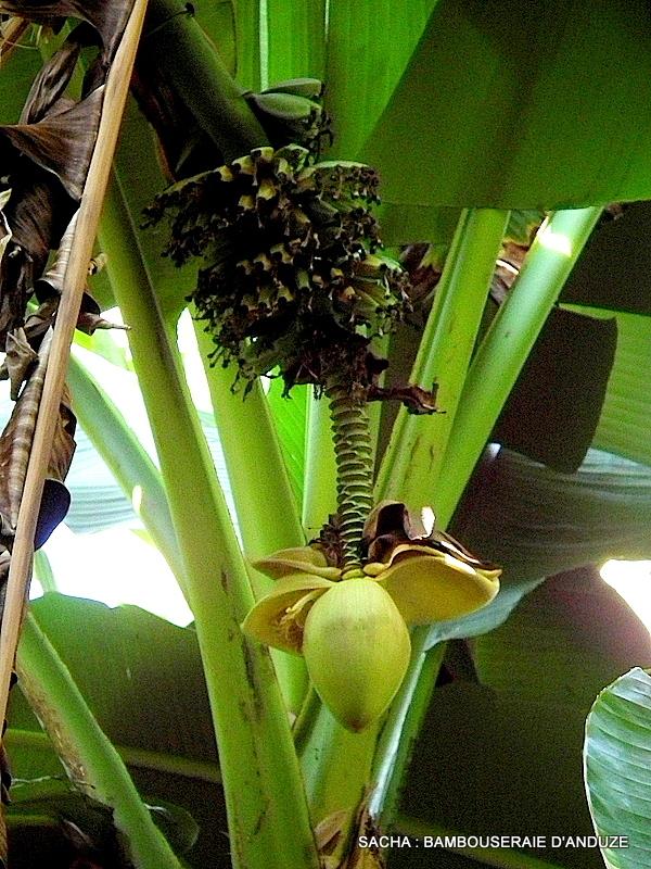 Régime et fleur de bananier