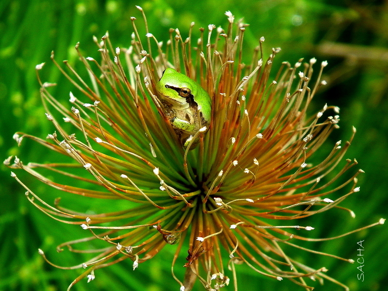 Petite grenouille au coeur d'un papyrus