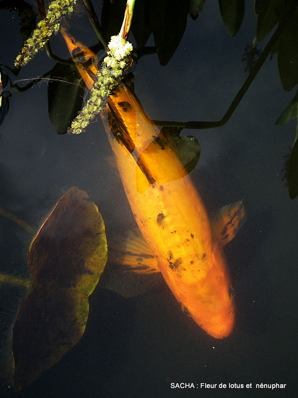 "Carpe Koï jardin d'eau ""Bambouseraie d'Anduze"""