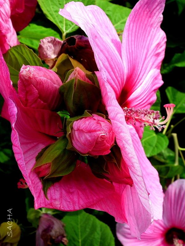 Ibiscus
