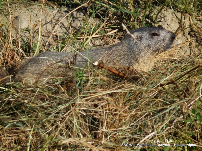 Marmotte Queyras