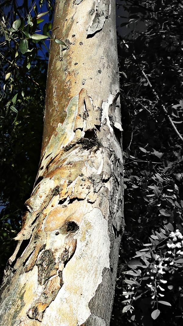 scaly-bark-tree