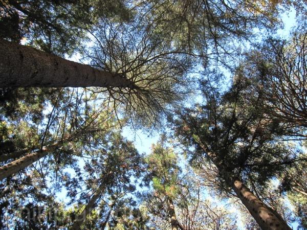 """ Tall trees"""