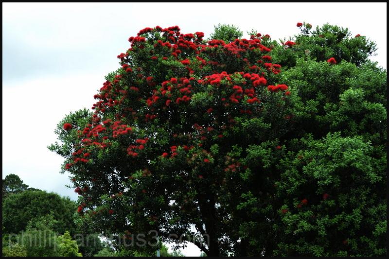 "New Zealand Christmas Tree"""