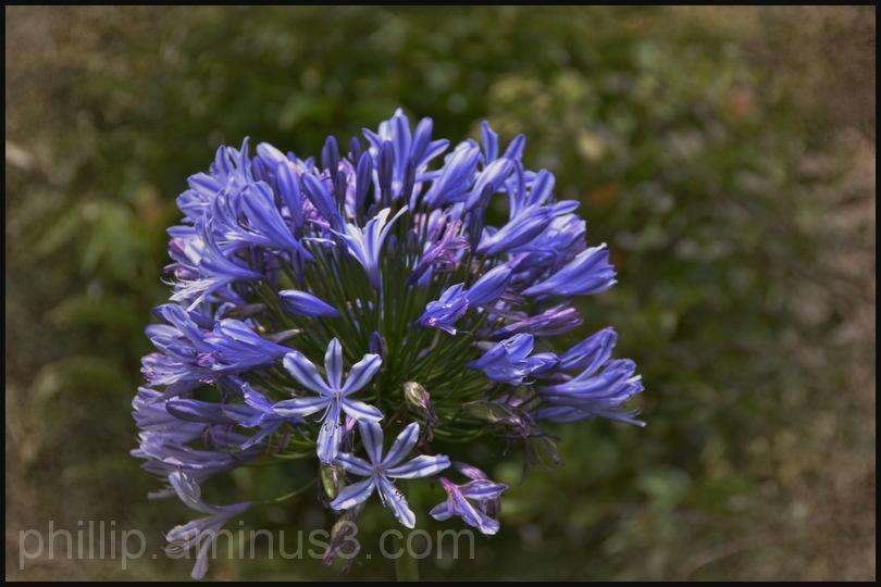 """Blue Agapanthus"""