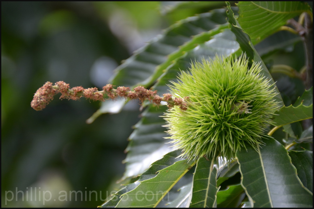 """Chestnut Flower And Seed"""