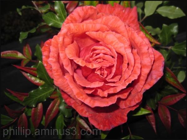 """A Rose"""