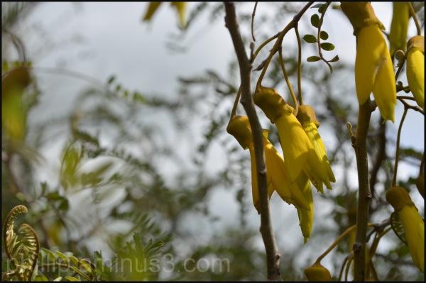 """Kowhai Flowers"""